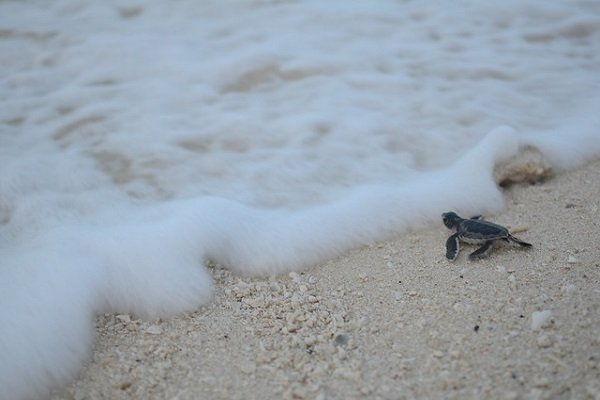Protect the baby sea turtles