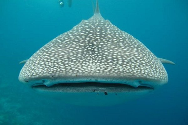 the biggest fish in the ocean